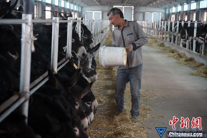 在皮山县标准化驴棚养殖基地,饲养员每天都精心照料、饲养驴,不光让饲养员赚到了工资,还让他们学习到了技术。 石莹莹 摄