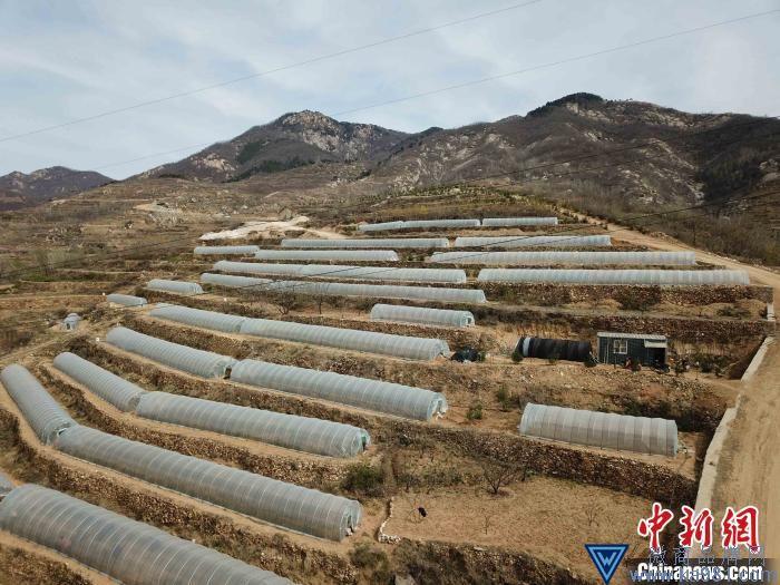 中国最北端茶区泰山女儿茶进入采摘季