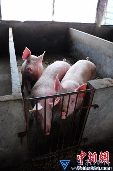 资料图:生猪。杨华峰 摄