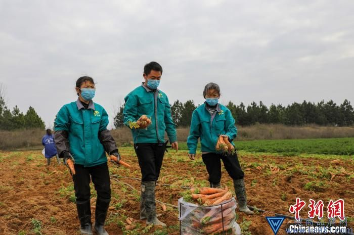张飞带领着大伙将基地的白萝卜、胡萝卜、包菜等15吨蔬菜打包装车。 张小东 摄